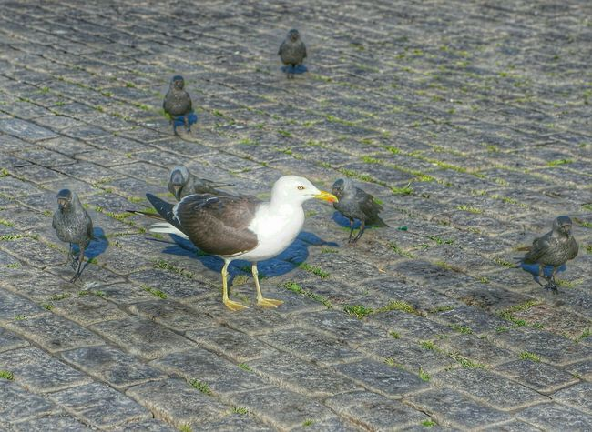 Seagull Seagulls Seagulls In The City Magpie Magpies Everywhere Magpies Urban Nature Urban Birds Jackdaw Bird Jackdaws Jackdaw Common Gull Birds_collection Birds At The Market Place Birds In The City Birds Of EyeEm