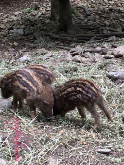 das sind Glücksschweine, weil doch heute Freitag, der 13. ist. 💕💗 Monique52 Glücksschwein Ferkel Frischlinge Freitag_13 Freitag