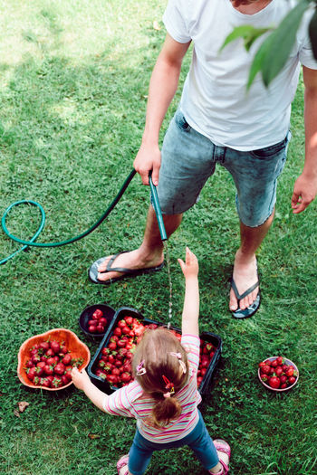 High Angle View Of Father And Girl Washing Strawberries In Crate While Standing On Filed