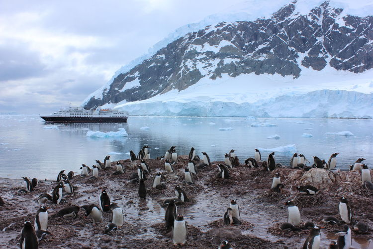 Penguins on sea shore against ship moving by snow covered mountain