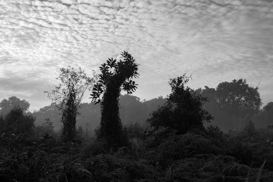 Silhouette of trees, grass, and plants of jungle dancing under cloudy sky; in black and white. Dancing Grass Plants Silhouette Beauty In Nature Black And White Photography Clouds Forest Jungle Nature No People Sky Tranquil Scene Tranquility Tree