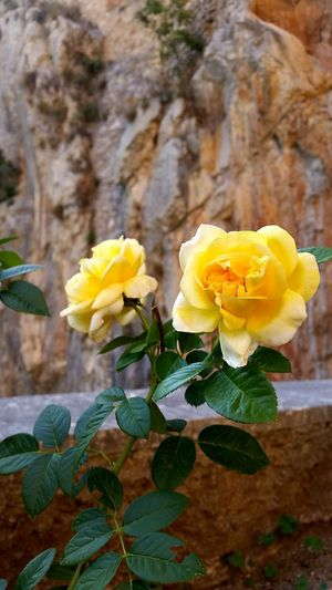 Roses Nature Sanbenedetto First Eyeem Photo