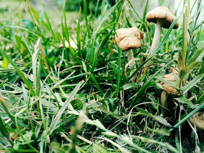 Mushroom family Mushroom Grass Green Color Summer Sunishining Sunshine Outdoors Photograpghy  Fungus Mushroom Close-up Grass Plant Growing Young Plant Ground