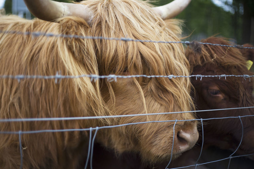 Scottish Hairy Coos EyeEmNewHere Farm Animal Animal Head  Animal Themes Animal Wildlife Barrier Boundary Brown Cattle Day Domestic Domestic Animals Fence Focus On Foreground Group Of Animals Hairy Coo Herbivorous Livestock Mammal Nature No People Outdoors Pets Ranch Vertebrate