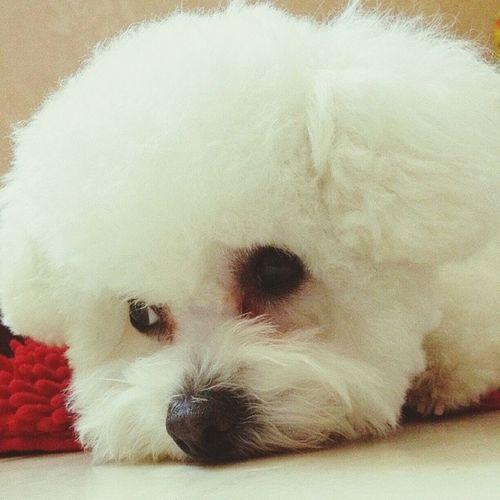 My sweetie! Bichonfrise Bichon Cute