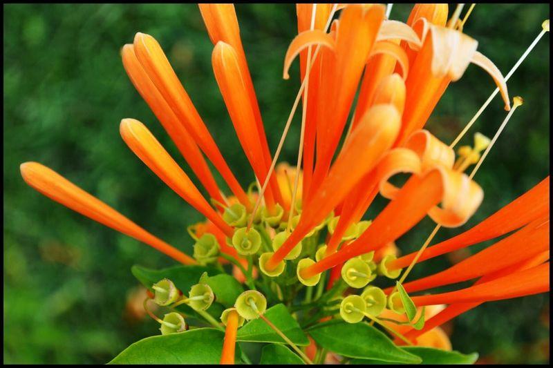 Orange By Motorola Orange Flowerporn Flower Porn Flower Collection Spring Into Spring The EyeEm Facebook Cover Challenge Trumpets Deceptively Simple Orange Flower Orange Trumpet Flowers Flowers
