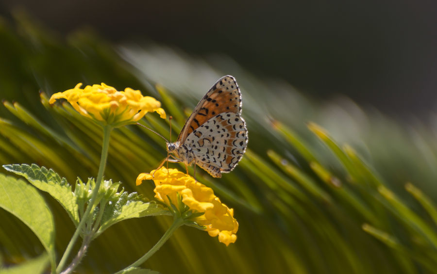 Spotted fritillary Melitaea Melitaea Didyma Animal Wildlife Butterfly Butterfly - Insect Flower Macro Spotted Fritillary