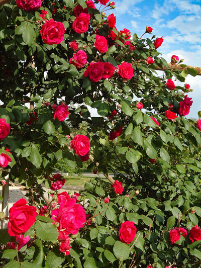 Climbing red rose bush at the side of a house. At The Side Blooms Bush Climbers Climbing Climbing Roses Clusters Exuberant Flourishing Flowers Garden Garden Flowers Garden Roses Hedge Lush Foliage Ramblers Rambling Rose Red Roses Rosas Rose Bush Roses Shrubs Spring Flowers Spring May Spring Roses