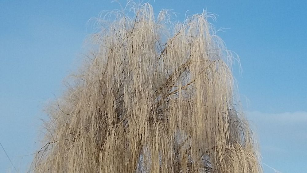 Showcase: January Frosted Snowy Tree Wintertime Willow Tree Frosted Trees Blue Sky Cold Days