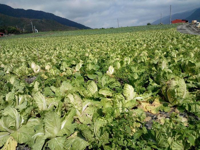 Fresh Produce Traveling Nature Enjoying Life 高山高麗菜(宜蘭)