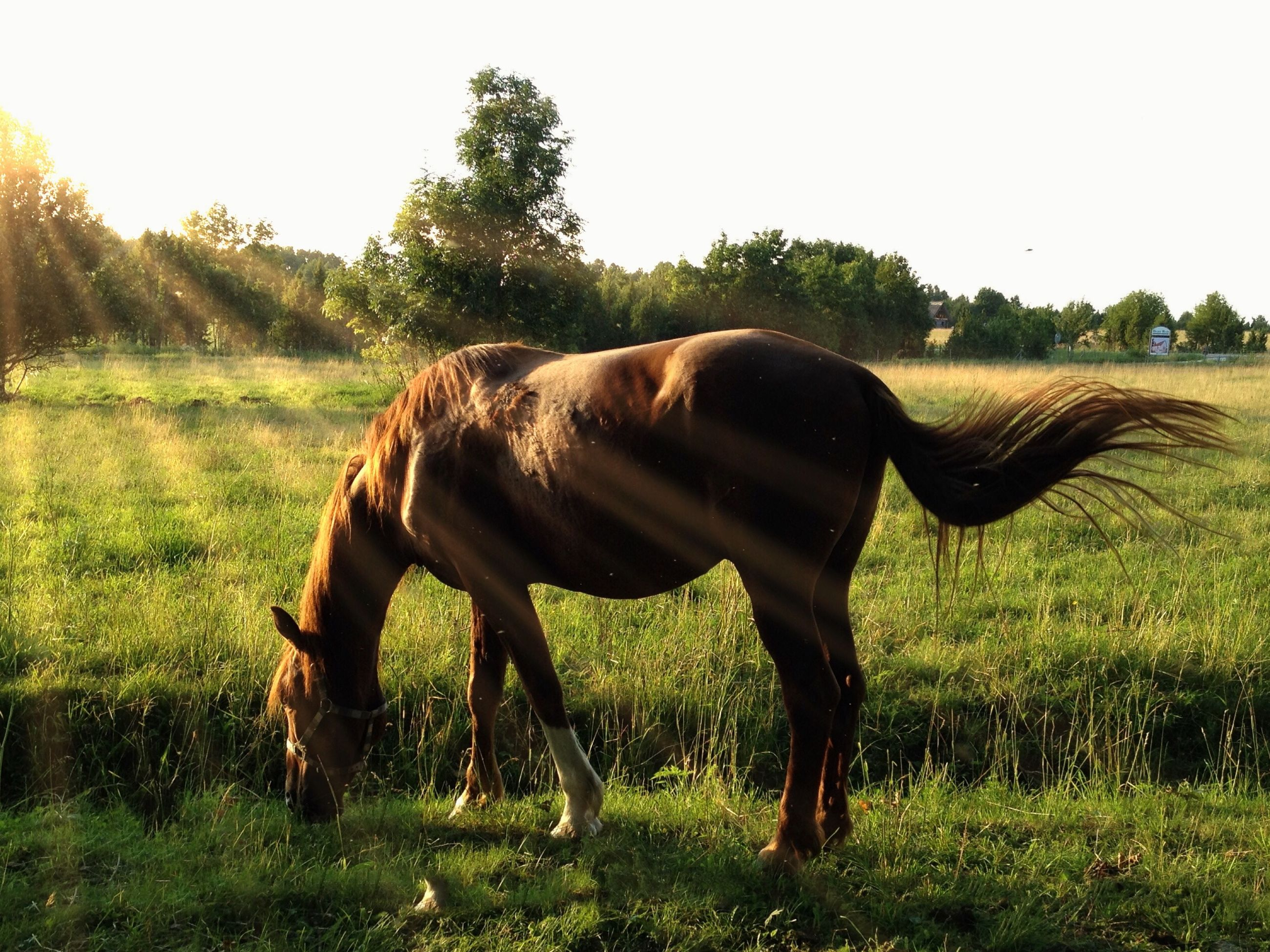 animal themes, domestic animals, mammal, grass, one animal, horse, field, full length, standing, grassy, tree, landscape, herbivorous, green color, nature, walking, grazing, sunlight, side view, working animal