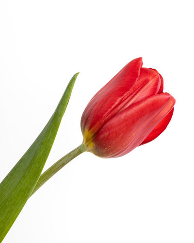 Close-up of red tulip against white background