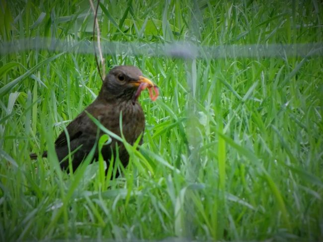 Animal Animal Themes Animal Wildlife Animals In The Wild Bird Blackbird Day Field Grass Green Color Growth Land Nature No People One Animal Outdoors Plant Selective Focus Vertebrate Young Animal Young Bird