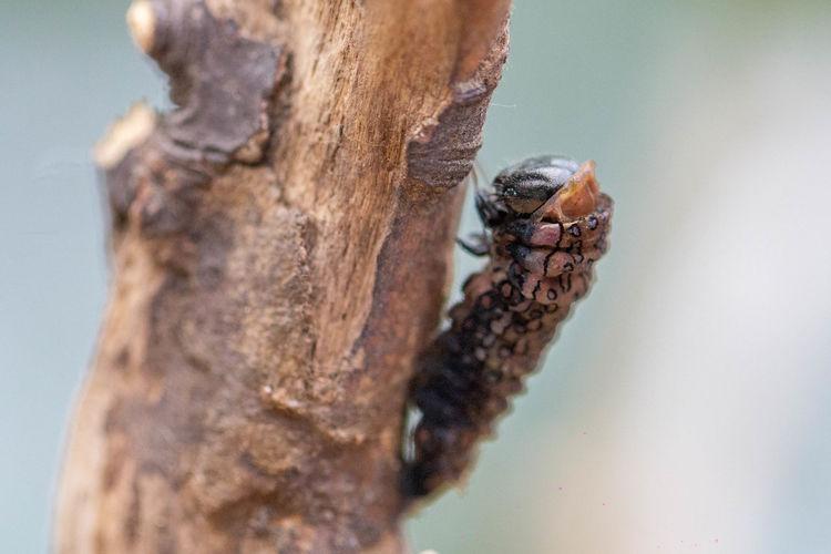 黃星鳳蝶變態前後 完全變態後好像樹枝 網路資料: (鳳蝶科) 展翅 55mm,為台灣產鳳蝶體型最小的,翅面底色黑褐色,上有複雜的淡褐色斑紋,後翅近內角有一枚黃色圓斑,翅腹面與翅面同,少數個體為黑化型, 幼蟲會吐絲群聚葉面,寄主多種樟樹,終齡體背有波浪狀的縱紋上有圓圈斑排列,蛹垂掛型態如折斷的枯枝,一年一世代,蛹期很長到隔年的2-3月羽化。本屬有3種,另兩種為斑鳳蝶和黃邊鳳蝶,本種又稱黃星斑鳳蝶,外觀擬態姬小紋青斑蝶但本種後翅肛角有一枚黃斑,停棲時腹部外露,分布於於、低中海拔山區,北部山區成蟲出現於3-4月,屬於早春的蝶種,活動期短,稀少。 相機:Canon 型號:EOS 60D 鏡頭:Canon EF100mm f2.8L Macro IS USM 蟲 昆蟲 毛毛蟲 變態 蛹 微距 生態 黃星鳳蝶 和美步道