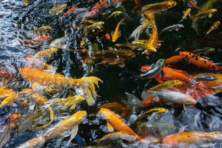 Fish swimming in sea , koi fish ,crab fish