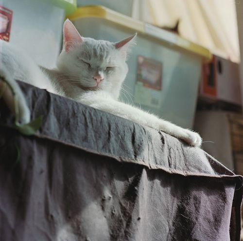 午睡 Mamiya C330 Kodakportra400 Cat