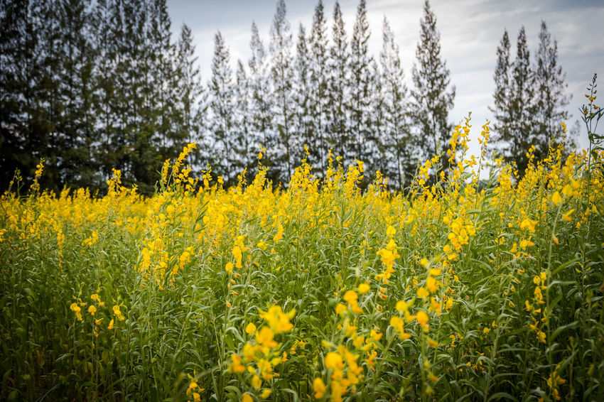 Abundance Beauty In Nature Crotalaria Juncea Day Environment Field Flower Flowering Plant Freshness Growth Land Landscape Nature No People Outdoors Plant Rural Scene Scenics - Nature Sunn Hemp Tranquil Scene Tranquility Tree Yellow