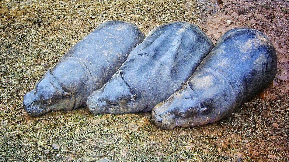 Hipopotamó Cabarceno Hipopotamo Pigmeo