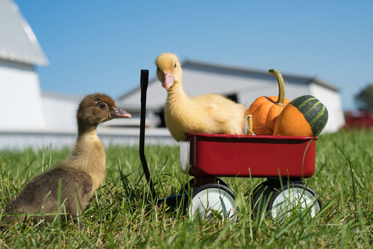 Pumpkins Animal Pair Animal Themes Cute Duckling Little Red Wagon No People Outdoors Summer
