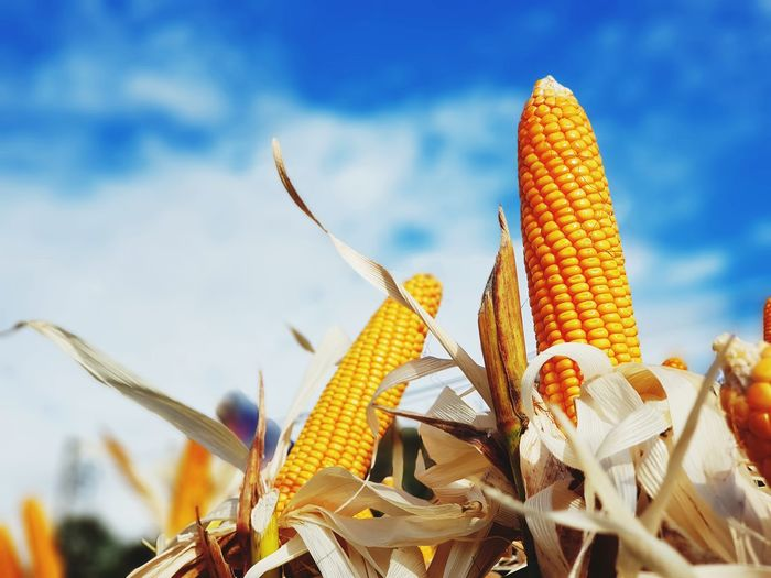 corns stalks and the blue sky. Growth Cereal Plant Corn Nature Outdoors Agriculture No People Plant Close-up Beauty In Nature Sky Day Yellow Thai Culture Dietfood Nice Shot EyeEmNewHere Thailand🇹🇭 Beautiful Nature EyeEm Selects Diet Fruit Agriculture Healthy Eating Hanging Nature