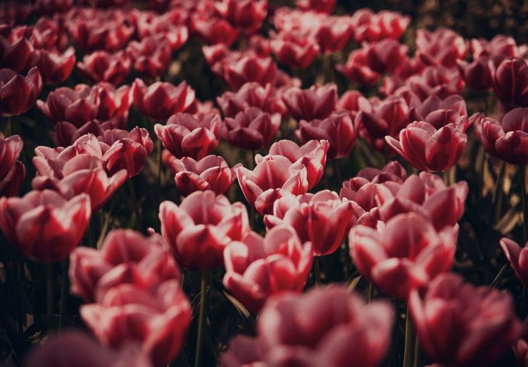 Full frame shot of red tulips