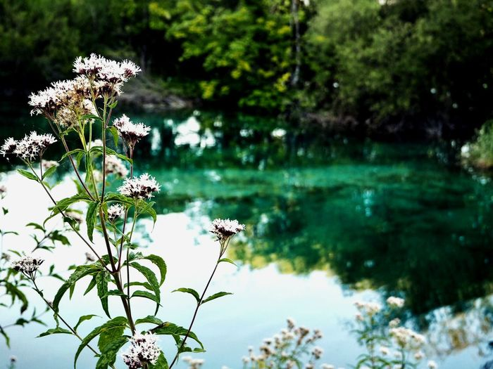 Flowers at Plitvice Lakes Spiritual Zen Beautiful Lakes  Lake Plitvice Plitvice National Park Nature Photographer Nature Photography Peaceful Serene Natural Croatia One Animal Outdoors No People Focus On Foreground Fragility Flower Head Freshness Close-up EyeEmNewHere EyeEmNewHere