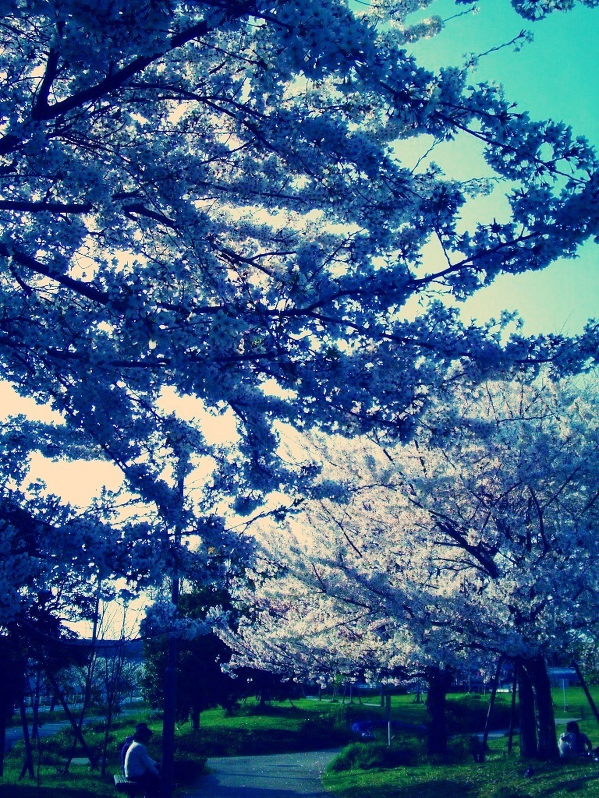 tree, branch, beauty in nature, growth, nature, tranquility, sky, flower, tranquil scene, scenics, bare tree, landscape, park - man made space, field, day, outdoors, low angle view, clear sky, no people, sunlight