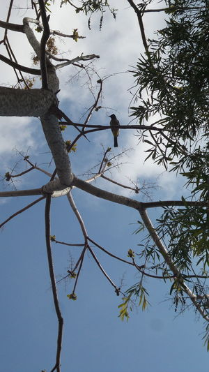 Animal Themes Animal Wildlife Animals In The Wild Beauty In Nature Bird Branch Day Growth Low Angle View Nature No People One Animal Outdoors Perching Sky Tree الاردن بلبل جامعة الزيتونة طبيعة
