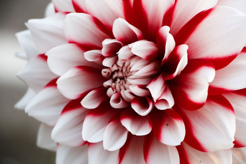 Blooming Flower Flowering Plant Beauty In Nature Close-up Flower Head Plant Fragility Petal Freshness Red Dahlia Nature No People Pollen