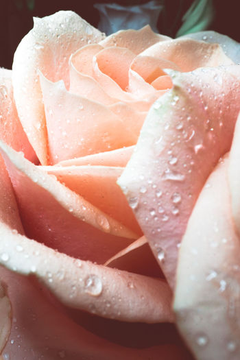 Close-up Freshness Wet Drop Water No People Flower Flowering Plant Food And Drink Food Indoors  Rosé Plant Nature Beauty In Nature Healthy Eating Petal Focus On Foreground Rose - Flower Flower Head Dew