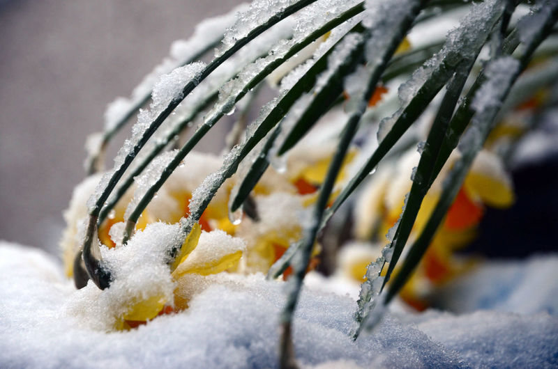Close-up of frozen plant on snow covered field
