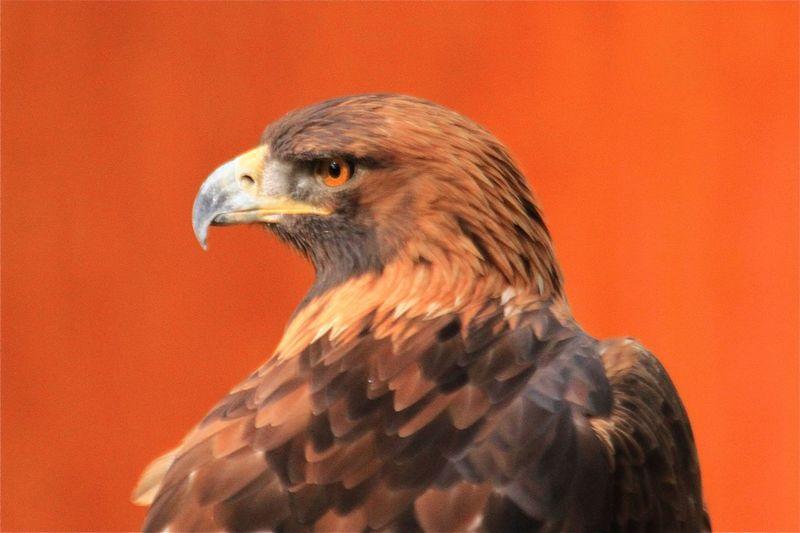 Close-Up Of Hawk Over Orange Background