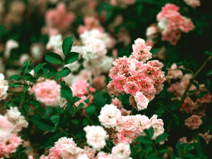 Flower Flower Head Pink Color Close-up Plant Landscape Flowering Plant Plant Part Plant Life In Bloom Blossom Blooming Botany Petal Growing