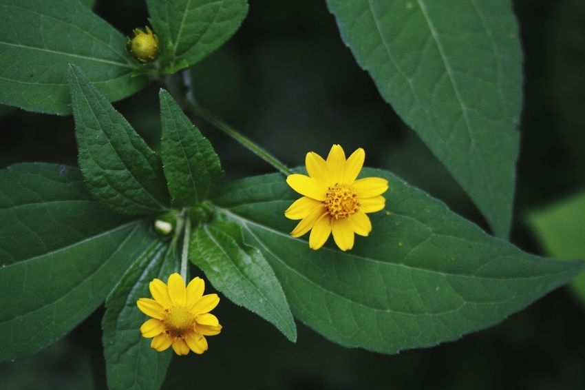 Two suns on my len. Beauty In Nature Yellow Flower Freshness Fragility Petal Flower Head Wildflower Day Botany Nature Plant Close-up Forest Green Loneliness