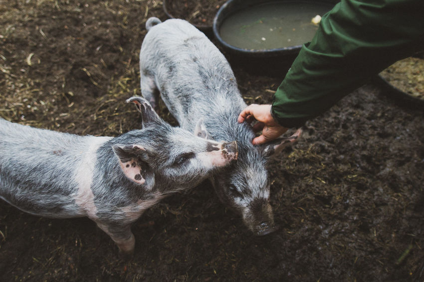 Little guys Adorable Animals Beautiful Cuddles Curiosity Cute Day Dirty Domestic Animals Farm Farm Animals Farm Life Lifestyles Livestock Mammal Mud Muddy One Animal Outdoors Pampered Pets Person Pet Pets Pig Wet