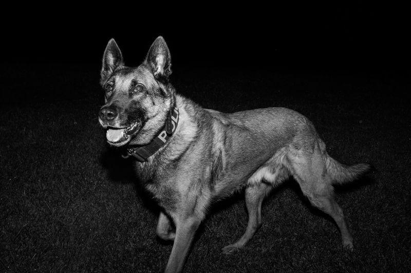 """Who we hunting tonight?"" Malinois Police Police Dog K9 Monochrome Portrait Pets"