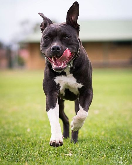 Manny always loves to run around! Photography Photographyislifee Photographer Photo Nikon DSLR Manny Staffy Puppy Pup Dog Pet Run Crazy Fun Wild Floppy Happy Friend Companion Datface Funny Grass Fast Eyes bokeh focus