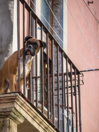 Low angle portrait of boxer dog standing in balcony