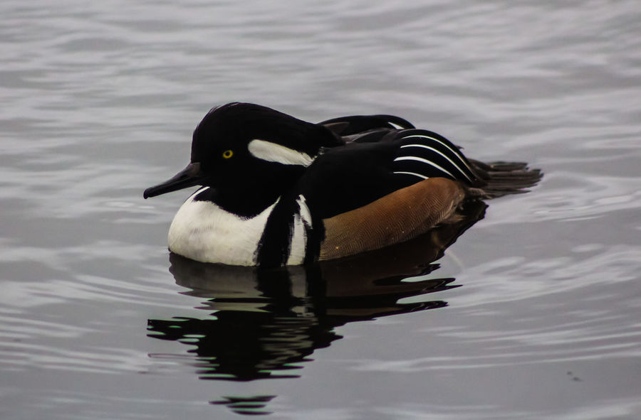 Animal Themes Animal Wildlife Animals In The Wild Beak Bird Black Color Day Hooded Merganser Lake Nature No People One Animal Outdoors Reflection Swimming Water Water Bird Waterfront