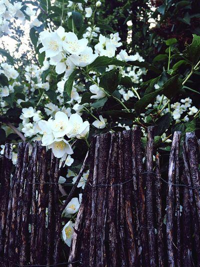 лето цветы запах жасмин Beutiful