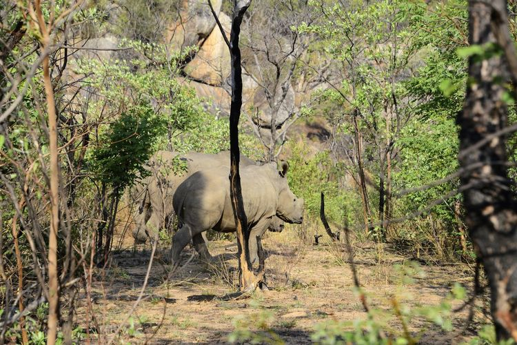 White Rhino in Rhodes Matopos National Park MatopoHills National Park Rhodes UNESCO World Heritage Site Zimbabwe Africa Animal Themes Animals In The Wild Day Nature No People One Animal Outdoors Rhino Rhinoceros Rhodes Matopos National Park Tree Unesco White Rhino