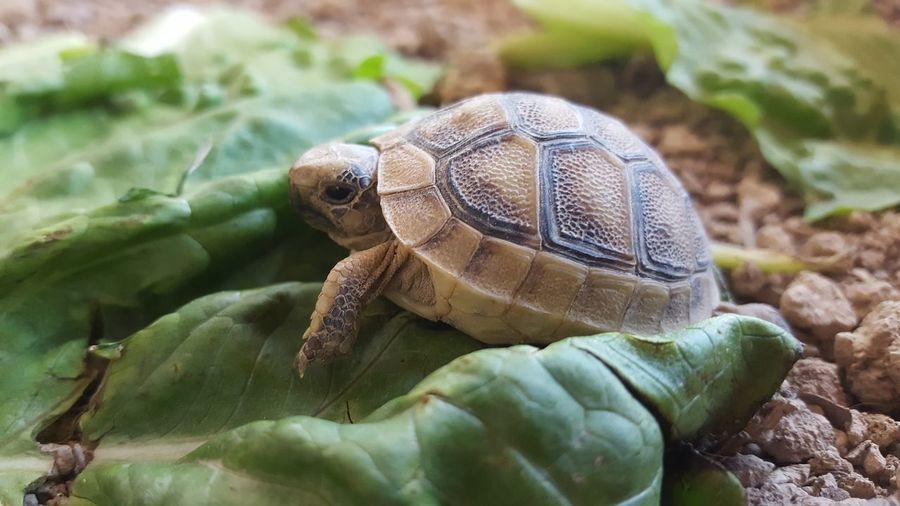 Baby Tortoise Soil Brown Turtle Leaves Lettucr Reptile Tortoise Shell Close-up Tortoise Animal Shell