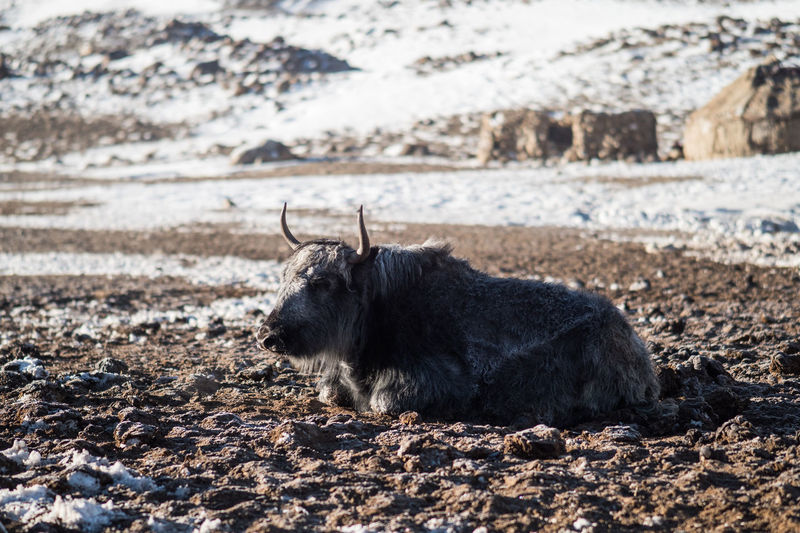 Animal Themes Animal One Animal Mammal Land Animal Wildlife Vertebrate Domestic Animals Nature Day Livestock Field No People Pets Domestic Animals In The Wild Environment Relaxation Focus On Foreground Landscape Outdoors Herbivorous Yak Pamir Buffalo