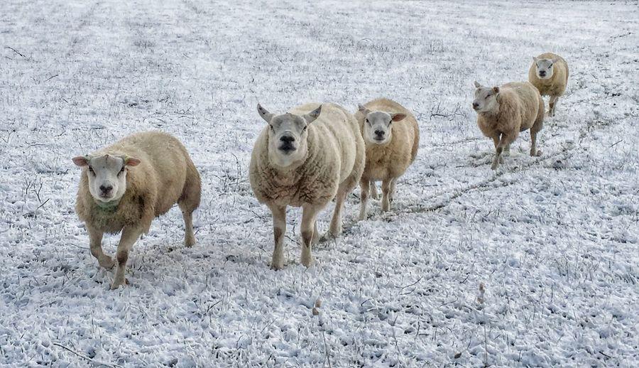 Portrait Of Sheep On Snowed Land
