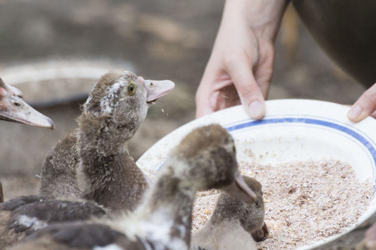 Cropped hands feeding ducklings on field
