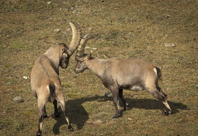 Side view of two ibex on field