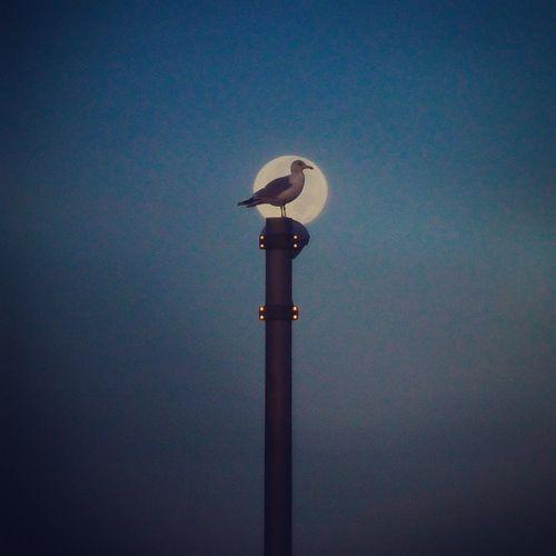 Seagull and the moon. Mattapoisett Town Wharf. September 17, 2016 Seagull Moon Streetlights Mattapoisett