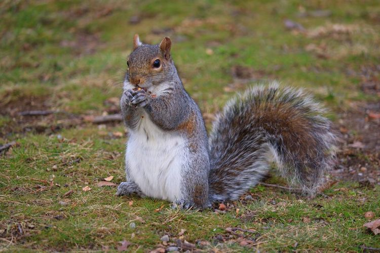 Thank you to this squirrel for posing for me ❤️😊 Squirrel Closeup Animals Furry Squirrel Squirrel Eating Nut Gathering Nuts Nature Photography Astoria Park Animal In Nature Showcase: February