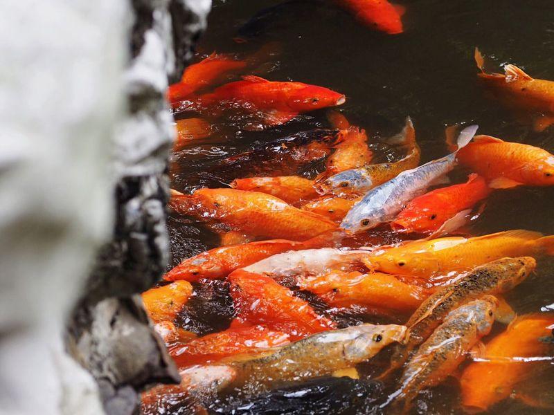 The Great Outdoors - 2016 EyeEm Awards Fish Animals Animal Water Colors Colorful Carp Fancy Carp Shanghai Shanghai, China China