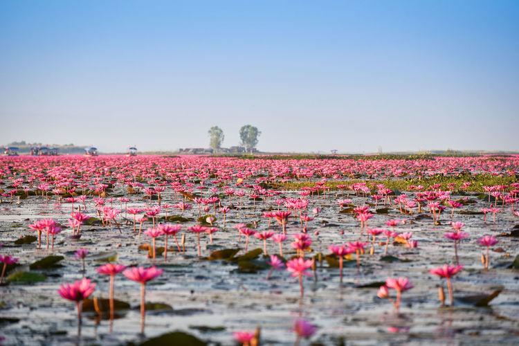 Pink flowering plants on landscape against clear sky